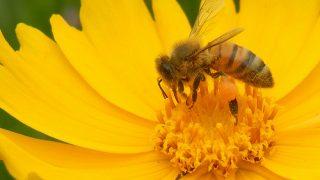 ハチ刺されの応急処置、冷やすか温めるか?
