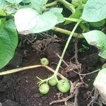 ジャガイモの実を初めて見たが、ミニトマトに似ている